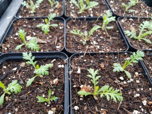 Junge Schafgarben (Achillea millefolium) 2 Wochen nach der Keimung