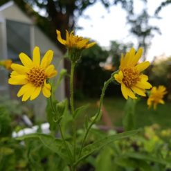 Arnica chamissonis in Blüte