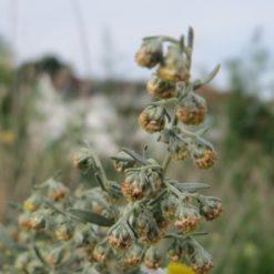 Blütenstand von Wermut (Artemisia absinthium)