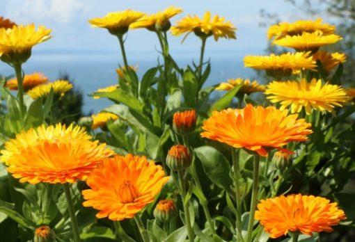 Ringelblume Blüten