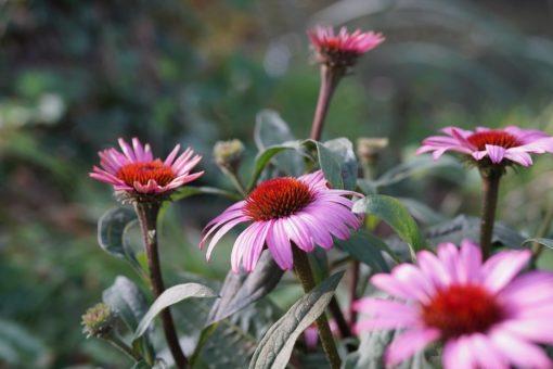 Rosa Blüten des Sonnenhuts