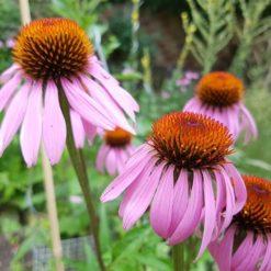 Sonnenhut Blüte