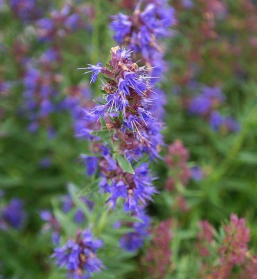 Ysop (Hyssopus officinalis) violette Blüten