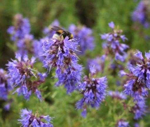 Ysop (Hyssopus officinalis) in Blüte