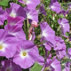 Blütenmeer aus Trichterwinden (Ipomoea tricolor)