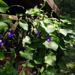 Trichterwinde (Ipomoea tricolor) im Garten