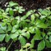 Jiaogulan (Gynostemma pentaphyllum) Blätter