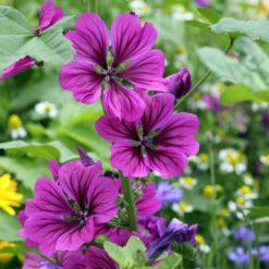 Blüten der Mauretanischen Malve