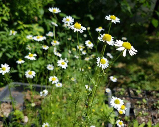 Blühende Kamille im Garten