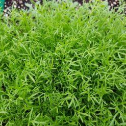 Blätter der Echten Kamille (Matricaria recutita)