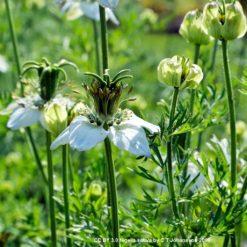 Blühender Schwarzkümmel (Nigella sativa)