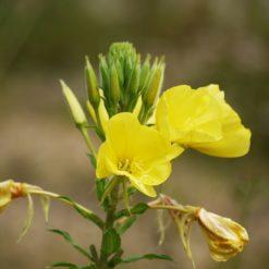 Blüten der gewöhnlichen Nachtkerze
