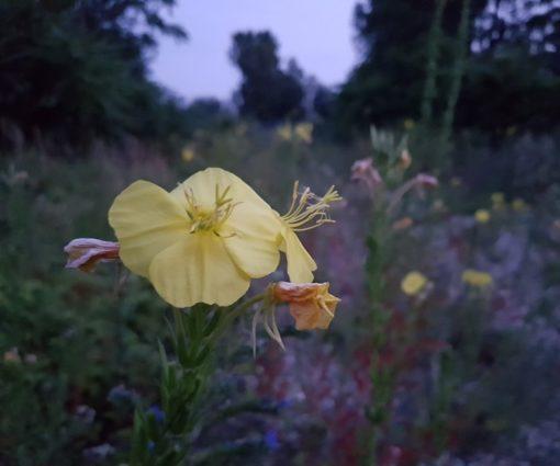Nachtkerzen (Oenothera biennis) Blüten in der Dämmerung