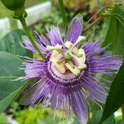 Passionsblume Passiflora incarnata