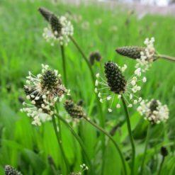 Blütenstände vom Spitzwegerich (Plantago lanceolata)