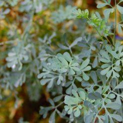 Blätter der Weinrauter Ruta graveolens