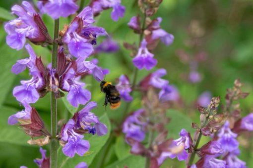 Blüten vom Salbei mit Biene