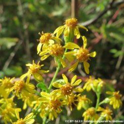 Blüten der Echten Goldrute (Solidago virgaurea)