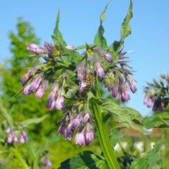 Blüten vom echten Beinwell Symphytum officinale