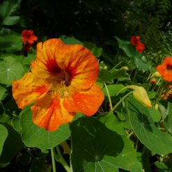 Orange Blüte der Kapuzinerkresse (Tropaeolum majus)