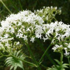 Blüten des Baldrian (Valeriana officinalis)