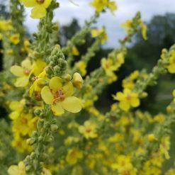 Nahaufnahme der Blüten der Pracht-Königskerze