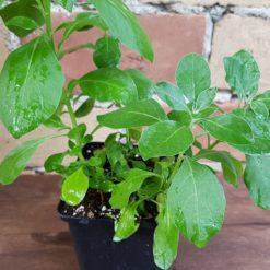 Ashwagandha Pflanze im Topf
