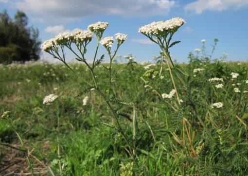 Wiesenpflanze Schafgarbe (Achillea millefolium in Blüte auf einer Wiese