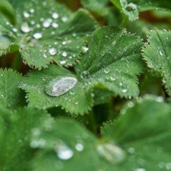 Blätter von Alchemilla vulgaris