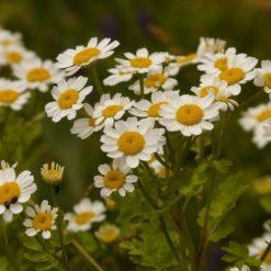 Mutterkraut (Chrysanthemum parthenium blühend