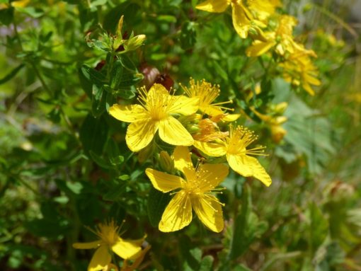 Das Johanniskraut (Hypericum perforatum) in Blüte