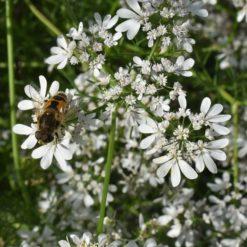 Blühender Koriander (Coriandrum sativum)
