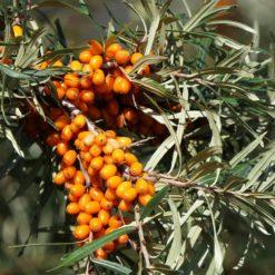 Sanddorn (Hippophae rhamnoides) Zweig mit Blättern und Beeren