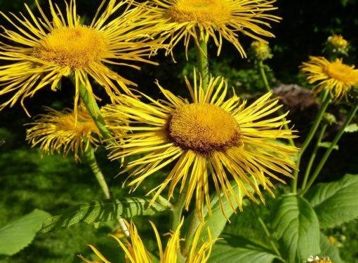 Alant Pflanze (Inula helenium)
