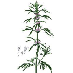 Marihuanilla (Leonurus sibiricus) Illustration