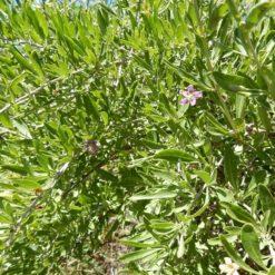 Goji-Beere (Lycium barbarum)