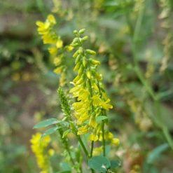 gelbe Blüten vom Steinklee