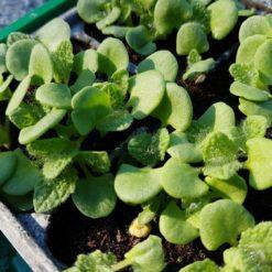 Salvia scalrea, Muskatellersalbei, Keimlinge