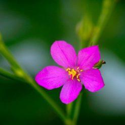 Kleine rosa Blüten von Talinum paniculatum