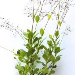 Erdginseng (Talinum paniculatum)