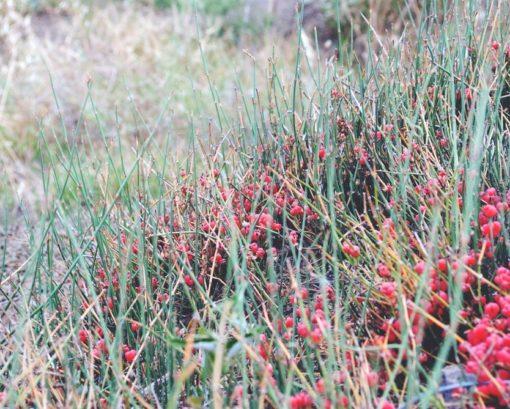 Ephedra sinica, Ma-huang mit roten Früchten