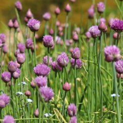 Schnittlauch mit Blüten