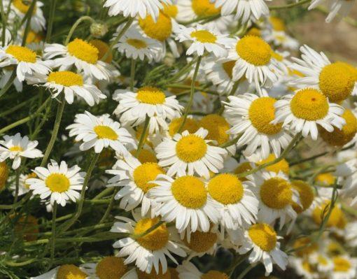 Römische Kamille (Anthemis nobilis), zahlreiche Blüten