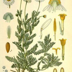 Illustration der römischen Kamille, Anthemis nobilis