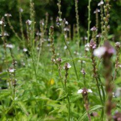 Eisenkraut blühend (Verbena officinalis)
