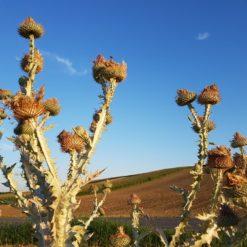 Eselsdistel (Onopordum acanthium) Fruchtstände