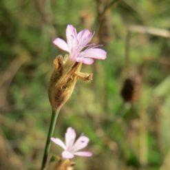 Felsennelke Saatgut, Pflanze in Blüte