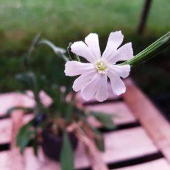 Afrikanische Traumwurzel Pflanze, Silene capensis