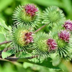 Klette Blüten, Arctium lappa