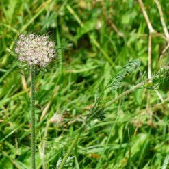 Wilde Karotte Pflanze